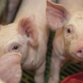 Experimentación en porcino