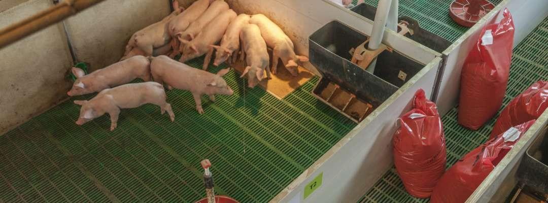 Pig trials
